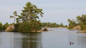 Um par de mergulhões-do-norte no lago Fotografia de Stock
