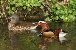Um par de natação do galericulata de Duck Aix do mandarino em um córrego Imagem de Stock