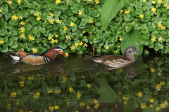 Um par de natação do galericulata de Duck Aix do mandarino em um córrego, com um contexto de flores do celandine e de suas reflex Foto de Stock