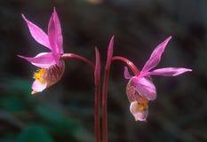 Um par de orquídeas feericamente do ` do deslizador do ` Foto de Stock Royalty Free