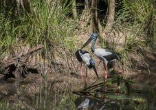 Um par de pássaros de Jabiru em Austrália imagens de stock