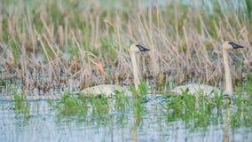 Um par de pais da cisne de trompetista em um dia de mola ensolarado bonito - com seus cisnes novos bonitos do bebê - recolhidos o imagens de stock royalty free