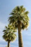Um par de palmeiras Fotografia de Stock