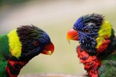 Um par de papagaios multi-coloridos bonitos olha se foto de stock royalty free