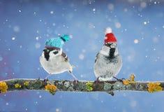 Um par de pardal engraçado dos pássaros que senta-se em um ramo no inverno gard fotos de stock royalty free