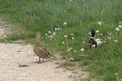 Um par de pato comum acoplado dos patos, Anas que platyrhynchosstanding incompletamente em um trajeto e incompletamente em alguma foto de stock royalty free
