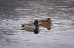 Um par de pato selvagem ducks a natação no rio Imagens de Stock