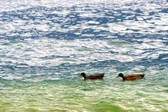 Um par de patos, água verde Imagem de Stock Royalty Free