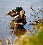 Um par de patos Fotografia de Stock