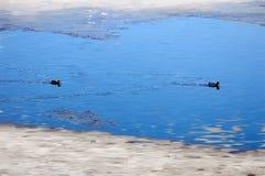 Um par de patos migrat?rios selvagens parou para descansar na ?gua Mola Os patos selvagens migrat?rios nadam entre as banquisas d fotografia de stock royalty free