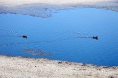 Um par de patos migrat?rios selvagens parou para descansar na ?gua Mola Pato selvagem migrat?rio foto de stock