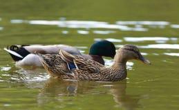 Um par de patos que nadam na lagoa Fotos de Stock