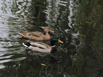 Um par de patos selvagens em uma lagoa foto de stock