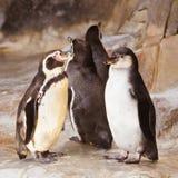 Um par de pinguins bonitos o pinguim de Humboldt está enfrentando-se, o relacionamento do pássaro é amor ou cuidado para a prole imagem de stock