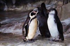 Um par de pinguins bonitos o pinguim de Humboldt est? enfrentando-se, o relacionamento do p?ssaro ? amor ou cuidado para a prole imagem de stock