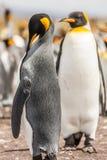 Um par de pinguins de rei Imagens de Stock Royalty Free