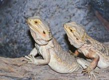 Um par de Pogona, conhecido geralmente como dragões farpados Foto de Stock Royalty Free