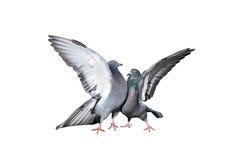 Um par de pombos de rocha que arrulham e que beijam espalhou suas asas e penas Imagens de Stock