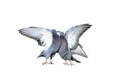 Um par de pombos de rocha que arrulham e que beijam espalhou suas asas e penas Imagem de Stock Royalty Free