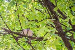 Um par de pombos que arrulham entre ramos de árvore na primavera Conceito do amor imagem de stock
