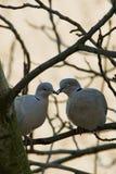 Um par de pombos selvagens que sentam-se em um ramo Fotos de Stock