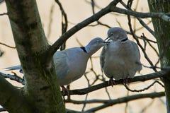 Um par de pombos selvagens que sentam-se em um ramo Foto de Stock Royalty Free