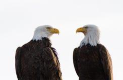 Um par de revestimento calvo de Eagles Imagens de Stock Royalty Free