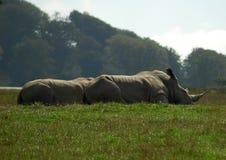 Um par de rinocerontes de descanso Foto de Stock Royalty Free