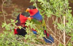 Um par de Solomon Island Eclectus Parrots (solomonensis do roratus de Eclectus) Imagens de Stock Royalty Free