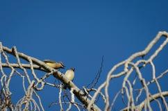 Pássaros Squabbling Imagens de Stock Royalty Free