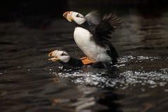 Um par do papagaio-do-mar que acopla-se na mola imagem de stock