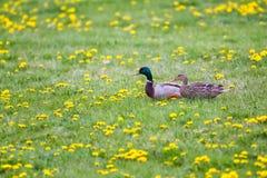 Um par do pato selvagem para fora para uma caminhada entre as flores fotos de stock royalty free