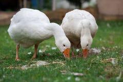 Um par dos gansos brancos Fotografia de Stock