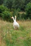 Um par dos gansos brancos Imagens de Stock Royalty Free
