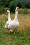 Um par dos gansos brancos Fotos de Stock Royalty Free