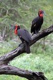 Um par dos Hornbills à terra Imagem de Stock