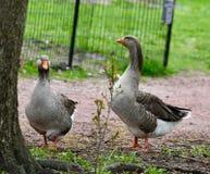 Um par dos maiores gansos de peito branco #1 imagem de stock royalty free