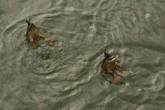 Um par dos patos de mergulho synchronously foto de stock