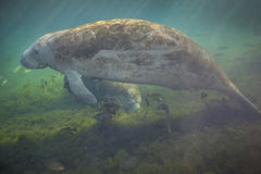 Pares do peixe-boi que comem e que flutuam Fotografia de Stock Royalty Free