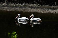 Um par dos pelicanos brancos Foto de Stock