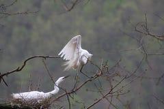 Um par egrets Fotografia de Stock Royalty Free