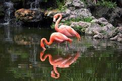 Um par flamingos cor-de-rosa Fotos de Stock