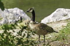 Um par ganso canadense que está no parque da ilha do ` s do príncipe Fotos de Stock