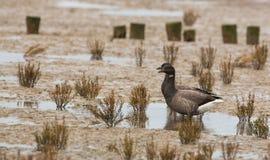 Um par gansos de Brent imagens de stock royalty free