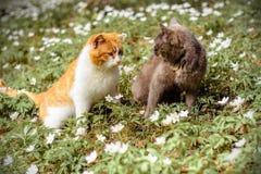 Um par gatos dos amantes que andam ao longo da mola jardinam em anêmonas das flores imagem de stock
