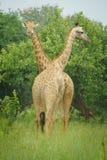 Um par girafa com fundo verde fotografia de stock