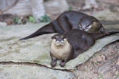 Um par lontras Fotografia de Stock Royalty Free