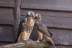 Um par ou uns falcões vermelho-atados olham na distância imagem de stock royalty free