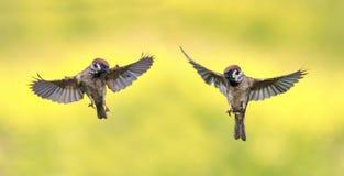 Um par pássaros pequenos engraçados, pardais voam o próximo verão ao spre fotografia de stock royalty free