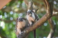 Um par panamense, macacos de crista encarnada que comem uma banana fotos de stock